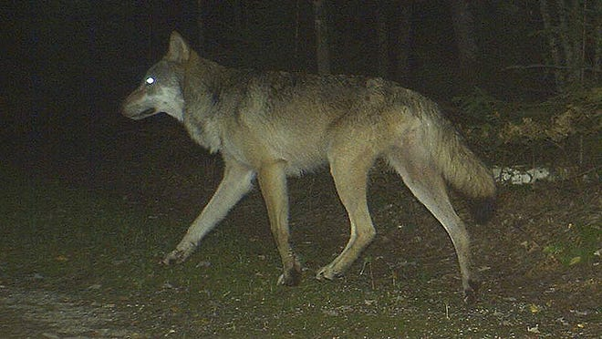 Livestock losses caused by wolves have declined more than 70 percent over the past three years in Wisconsin.