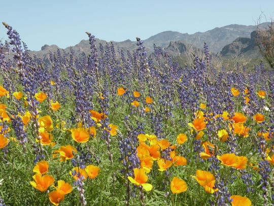 A bouquet of poppies and lupine brighten up the desert