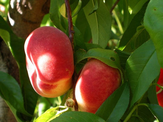If you want unique and early ripening peach tree add