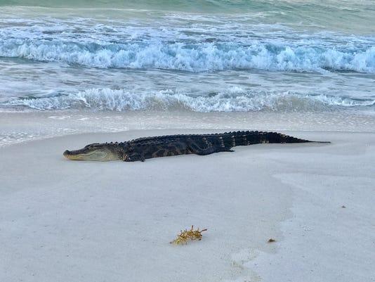 636284679064745193-Gator-on-beach.jpg