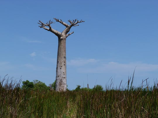 A baobab tree is surrounded by reeds and stagnant water