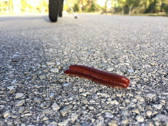 Two millipedes cross a road one on top of the other. Many homes in Collier County have been overrun with a host of yellow banded millipedes.