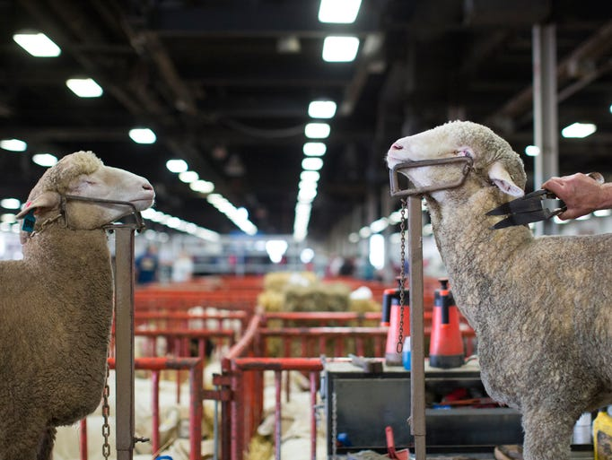 Two lambs are trimmed as they ready for competition at the Kentucky State Fair at the Kentucky Exposition Center in Louisville.
