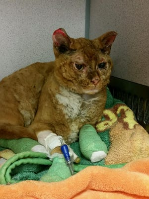 A cat found in Gatlinburg is being treated at the University of Tennessee Veterinary Medical Center.