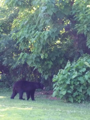 A bear that was prowling around Middlesex County was captured in Spotswood Tuesday.