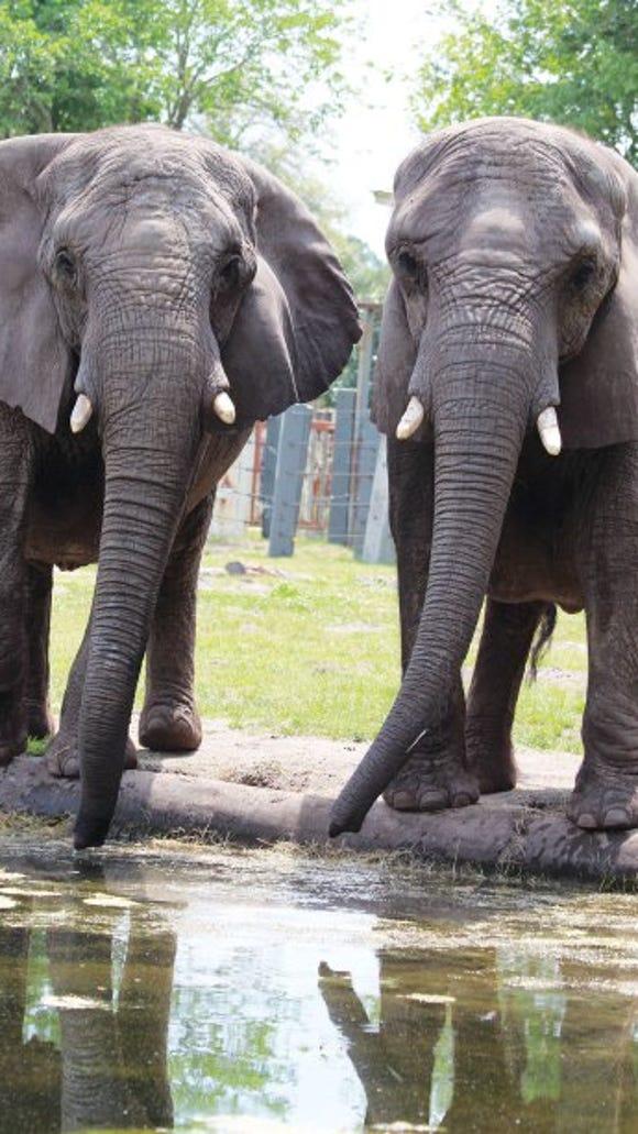 Elephants drink.