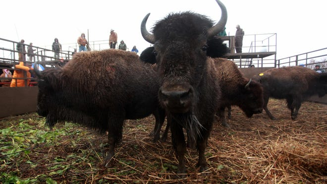 Bison cows roam around the auction pen during the annual bison auction at Maxwell Wildlife Refuge near Canton in 2013.