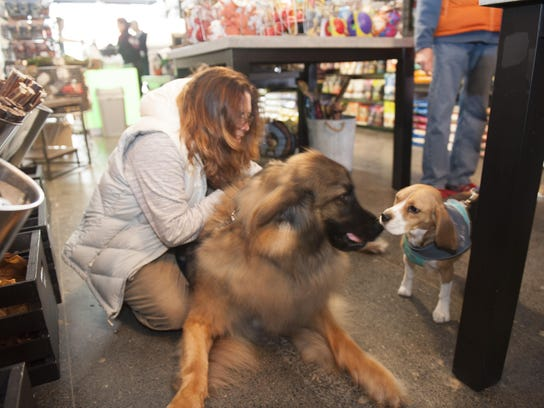 'Wilbee Daniels' a 150-pound Leonberger breed meets
