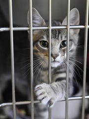 A kitten at the Willamette Humane Society in Salem waits to be adopted.