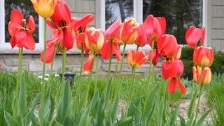 Rows of tulips like this sparked an Ephemiral Idea.