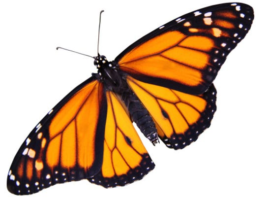 Monarch butterfly with outspread wings.