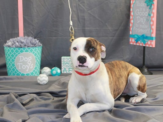 Sophie-12390 is a 6-8 mon old, female American Staffordshire mix.  She is ve.JPG