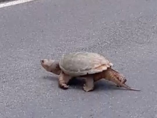 Nesting mother turtles crawl across the street from