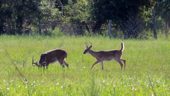 """Tim Hinkle Jr. took this photo of two bucks playing in an open pasture on the WW Ranch near Sebastian. """"They would run back and forth and across the pasture having such good time,"""" he said."""