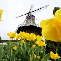 Downtown Holland is full of colorful tulips at the Holland Tulip Time Festival.