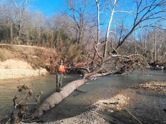 A 60-foot red oak tree dislodged by December floods