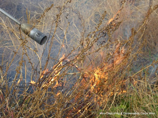A Conservation Corps crew used blow torches in hopes