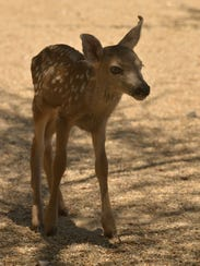This fawn was taken from the wild, according to the