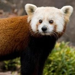 Shama, a red panda, at the Smithsonian's National Zoo