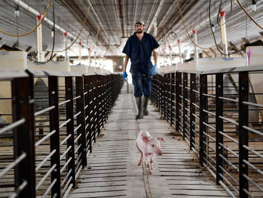 Hugo Sanchez removes a pig from its pen to be vaccinated