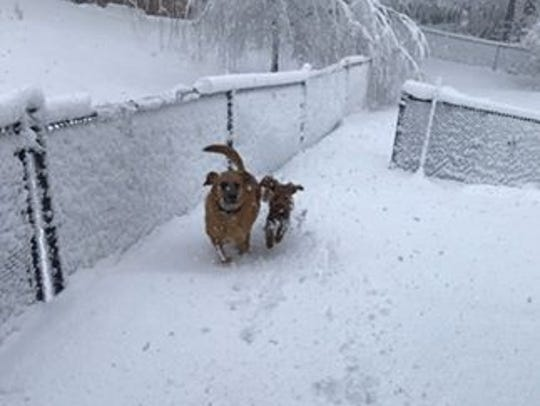 Two dogs, Coby and Remy, traipse through the snow in Cedar Grove.