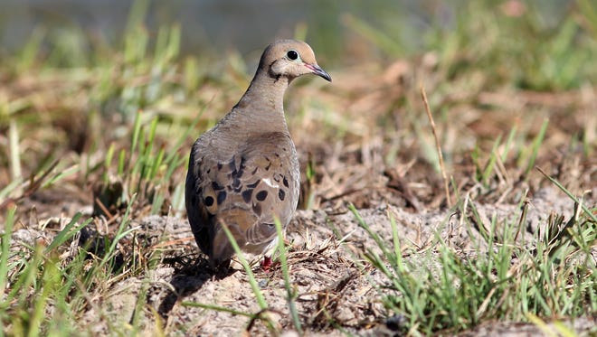 This year's South Texas Dove Season opens Sept. 14, but hunters in the entire South Zone my enjoy the special whitewing opportunities during the first two weekends in September.