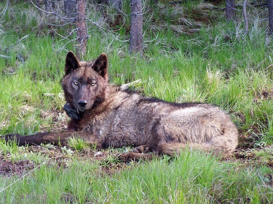 The wolf OR-25 was found dead near Klamath Falls in
