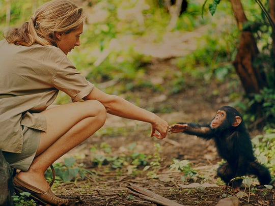 Jane Goodall and infant chimpanzee Flint reach out to touch each other in Gombe, Tanzania.
