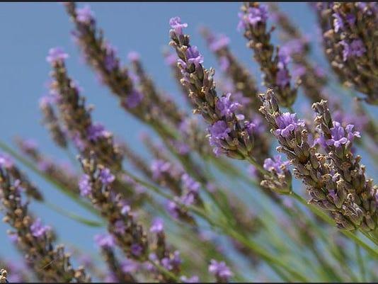 Don T Prune Lavender In Winter Or It Will Die