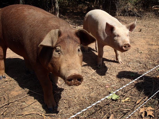 Pigs are raised in the pastures of Green Duchess Farm.