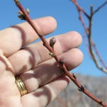 The flowering buds of a peach tree.