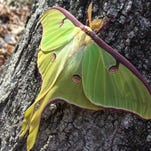 Adult luna moths don't eat – they don't even have a mouth – and their lifespans are only about a week.