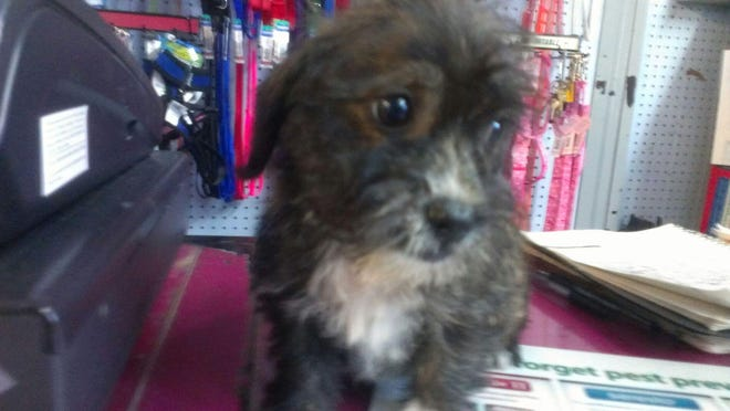 Pet store owner Mike Raleigh recovered this Shih-tzu mix after two women stole it from his Mount Healthy pet store Animal House.