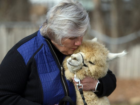 Joy Scott gives a kiss to her 7-month-old alpaca named 'Hamish.' Joy and her husband Colin of Highland Alpaca Ranch brought their alpaca to the Parsippany Public Library who hosted 'Live from NJ: Alpacas!' for an adults-only program. January 6, 2017, Parsippany, NJ.