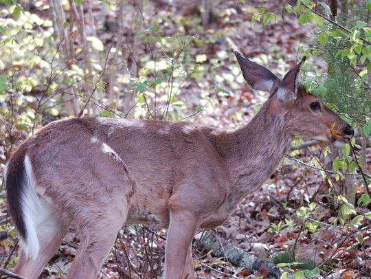 The author's mother's dad preferred whitetail deer