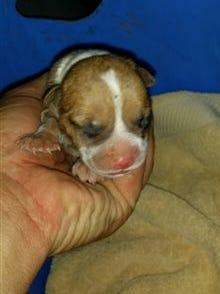 In this photo provided by the Arizona Humane Society, a puppy that was trapped in a pipe is tended to on Aug. 20, 2015.
