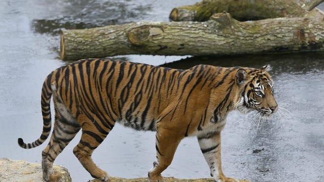 In this 2013 photo, Melati a female Sumatran Tiger, walks past her frozen pool, at London Zoo.