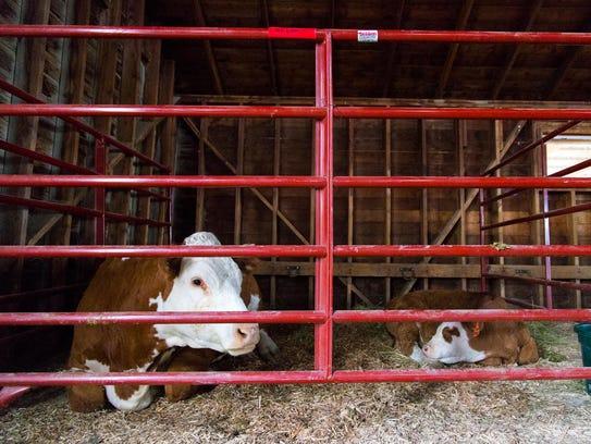 Cattle belonging to Clark Diemert rest in one of the