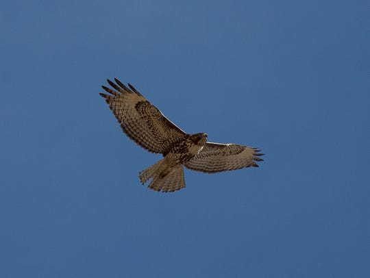 A photograph taken of a Red Tail Hawk during the Eagles