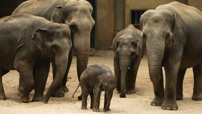 Two-month-old baby elephant Anjuli stands among family members  Sept. 14, 2015, at the Tierpark Hagenbeck zoo in Hamburg, Germany.