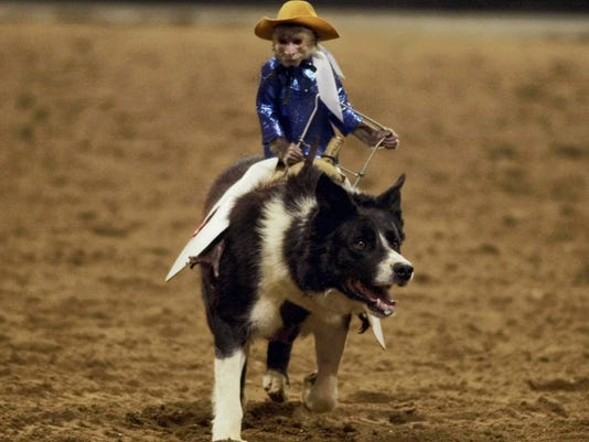 Cowboy monkeys, such as Whiplash at the 95th National Western Stock Show and Rodeo on Thursday, Jan. 11, 2001, in the Denver Coliseum, have become more popular as in-game entertainment throughout minor league sports.