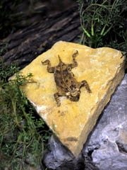 A horned toad found by Mary Jane Young, the director of the Wichita Brazos Museum and Cultural Center, which she included in the museum's wildlife display, May 4, 2017.