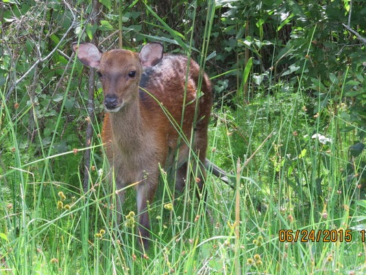 Bill Moul of York submitted this photo June 29. Moul writes,  Sika Deer at Assateague Island during a recent OC visit.