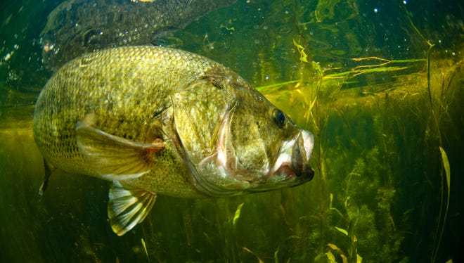 A large mouth bass swimming in a lake.