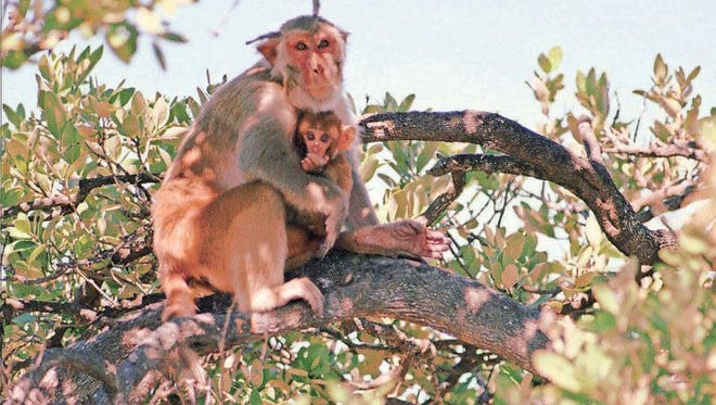 Rhesus monkeys that escaped from the park were sold to a  research facility, but public outcry ended the practice in 2012.