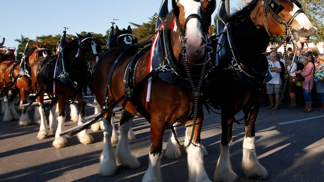 Clydesdales Mitch, left, and Ivan ready themselves for a trip around the Bell Tower Shops Wednesday during an appearance in Fort Myers.