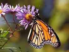 Plant seeds now to help monarchs, pollinators next year