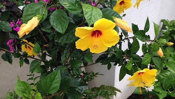 Yellow hibiscus plant.