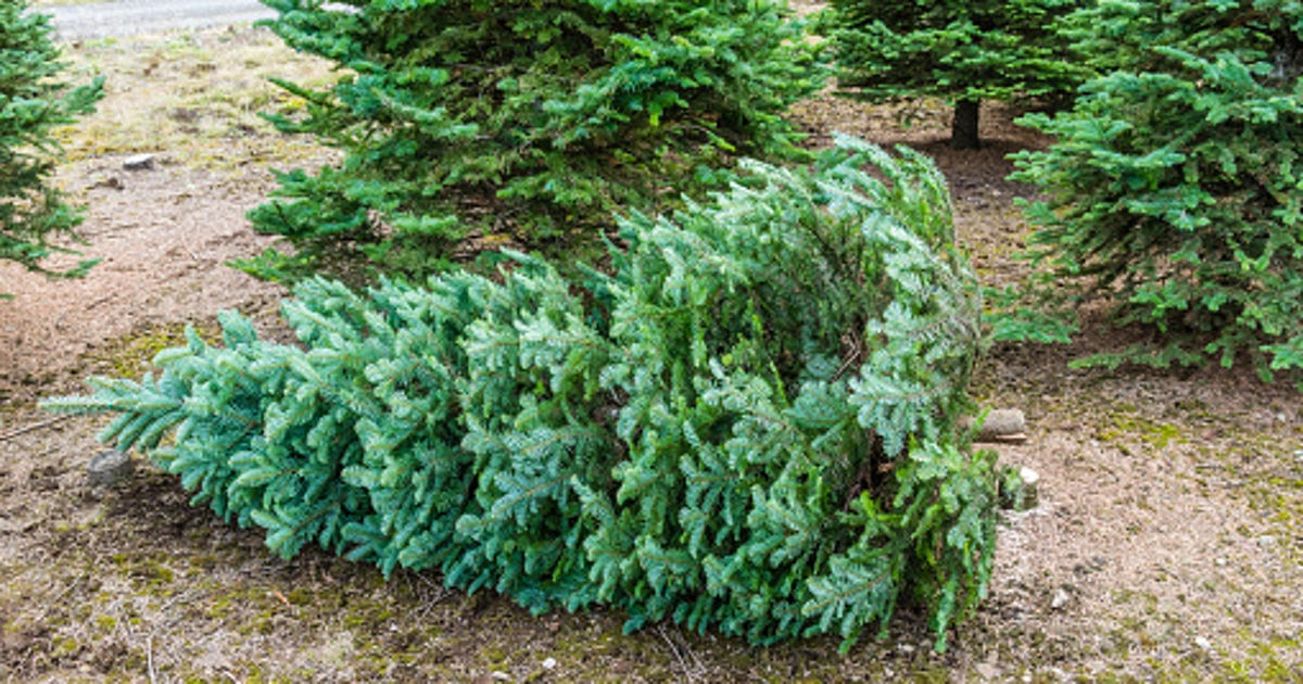 Best Christmas Tree Farms