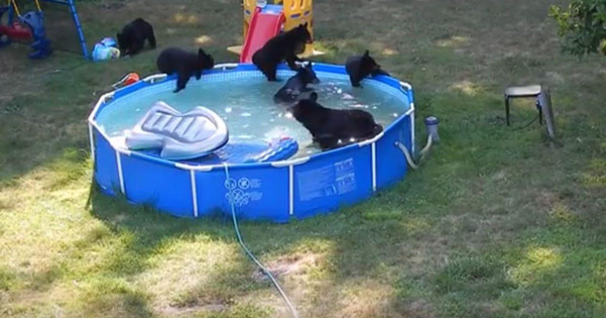 Bear family takes a dip in n j pool
